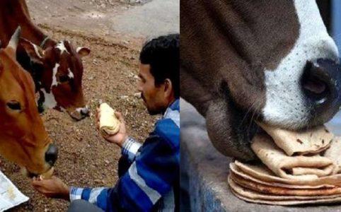 Roti cow