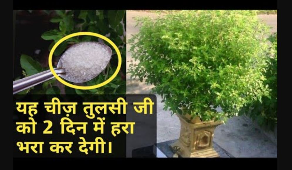 tulsi growth tips