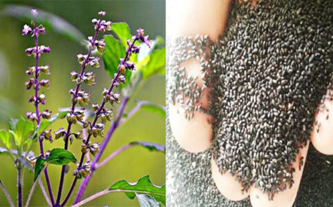10 Benefits of Basil Seed